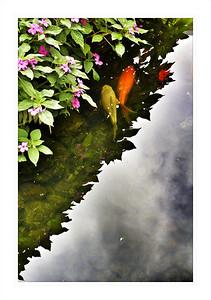 #5460 - Koi Pond