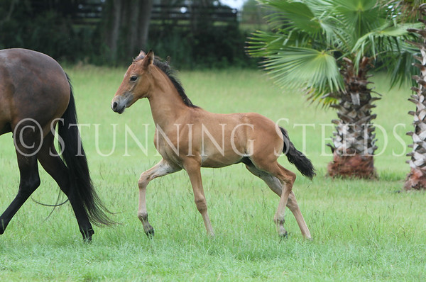 trote Foal 1
