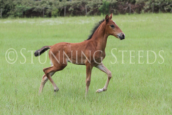 trote Foal 2