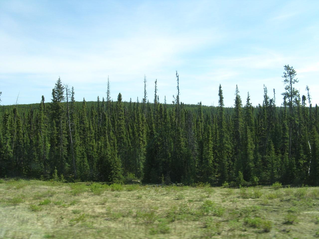 scrawny trees