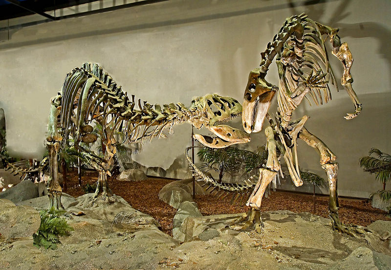 Dinosaur skeleton photos: Comptosaurus and Allosaurus shown in a fight. Comptosaurus, Iguanodont Dinosaur (on left) is Late Jurrasic, 120 Million years ago, Morrison Formation, near Cleveland, Utah. Allosaurus is carnivorous dinosaur of Late Jurassic to Early Cretaceous, 150 million years ago that lived in in North America, Africa, Australia. Los Angeles Museum of Natural History, January 2006.