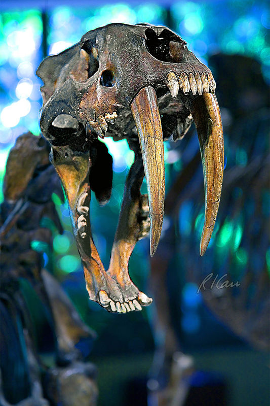 Prehistoric animal skeleton fossils: sabertooth Price Museum, La Brea Tar Pits, Los Angeles, California, January 2006.
