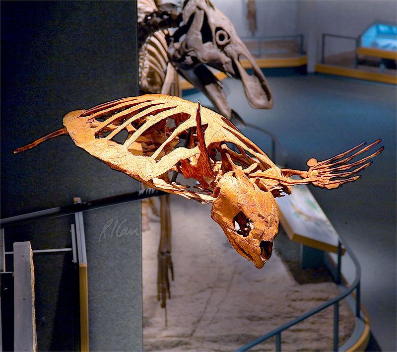 Dinosaur skeleton photos: Sea turtle, protostega gigas, is an ancient relative of today's sea turtles. Late Cretaceous Period, 85 million years ago, found in Niobrara Chalk, Lane County, Kansas. Denver Museum of Nature and Science, Denver, Colorado December 2005.