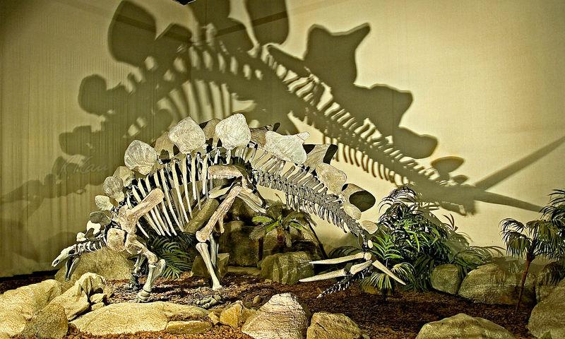 Dinosaur skeleton: Stegosaurus; Jurrasic; Los Angeles County Museum of Natural History. January 2006.