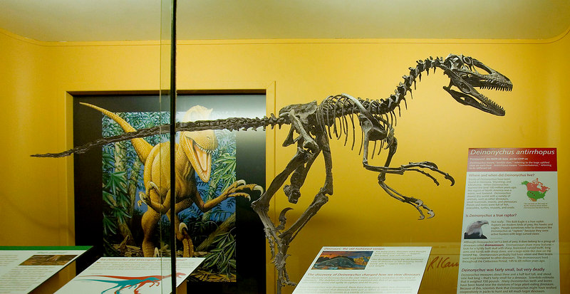 Dinosaur skeleton: Deinonychus antirrhopus was a dromaeosaur, meat eating, hunting dinosaurs that lived in the Cretaceous Period 145-65 million years ago. Exhibit Museum of Natural History, University of Michigan, Ann Arbor, July 2006.