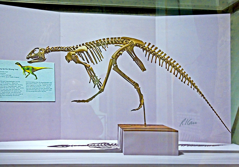 Dinosaur skeleton photos: Hypsilophodon foxii was lightly built and fast dinosaur of the Early Cretaceous period, 124-113 million years ago. Los Angeles County Museum of Natural History