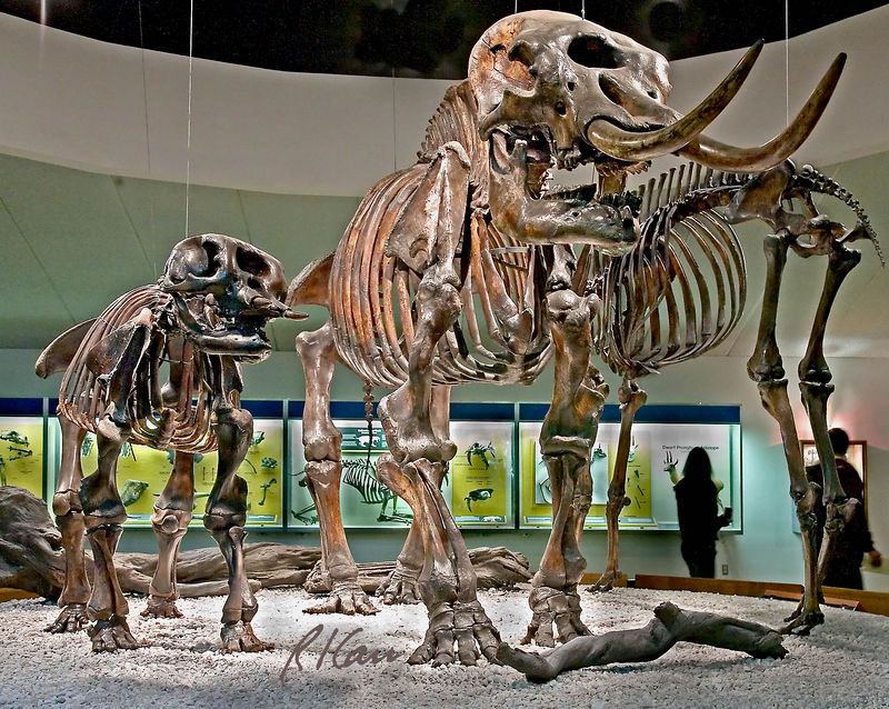 Prehistoric skeleton photos: American Mastodon, mammut americanum, mother and six year old child skeletons taken from the tar of La Brea Tar Pit. Price Museum, La Brea Tar Pits, Los Angeles, California, January 2006.