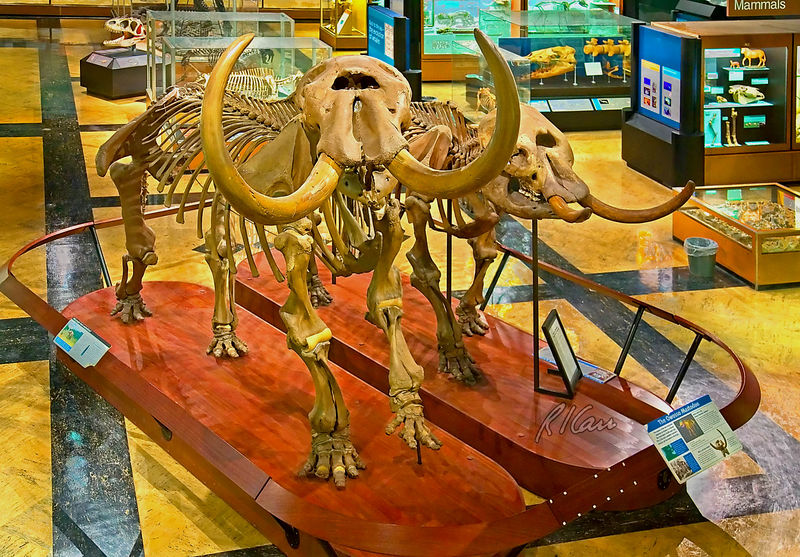 Prehistoric animal fossil skeletons: American mastodon, mammut americanum, couple, the only mastodon couple on display anywhere. The Male (on left) mastodon, named the Buesching mastodon, was found near Fort Wayne, Indiana in 1968. The female mastodon, named the Owosso mastodon, lived 11,000 years ago and was found in 1944 on a farm in Rush Township, Shiawassee County, near Owosso, Michigan. This species lived during the Pleistocene Period, 2 million years ago, until 10,000 years ago over a range from Alaska to Central Mexico. The mastodon became the Michigan state fossil in 2002. Museum of Natural History, University of Michigan, Ann Arbor, February 2006.