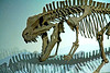 Prehistoric skeleton photos: An archosaur, postosuchus kirkpatrickii, was a large meat-eating reptile member of thecodont group of the late triassic period, 235-208 million years ago, before the dinosaurs. Postosuchus walked on all fours but could walk on its hind legs for short intervals. This is a composite skeleton, constructed from castings of bones from several museums. Los Angeles County Museum of Natural History, Los Angeles, California, January 2006.