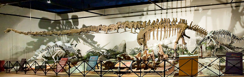 Dinosaur skeleton photos: Mamenchisaurus, with its long neck in particular, takes up the entire length of a very long room with its full length skeleton. This plant eating saurapod grew to 65-85 ft long and lived in the Late Jurassic Period. It is the largest necked dinosaur, and its neck is balanced with a long tail with a small club on its end. It is believed to have lived in herds of up to 100. This particular  skeleton is a cast of a fossil skeleton from China.  Los Angeles County  Museum of Natural History, Los Angeles, California, January 2006.
