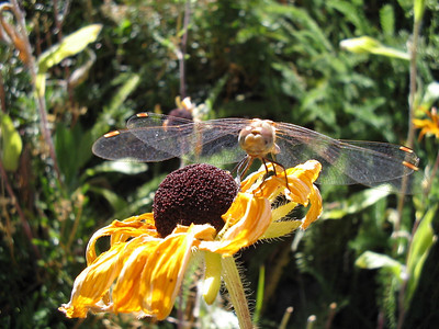 Dragon Fly 09_18_2006