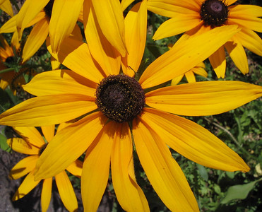 Blackeyed Susan 08_02_2006