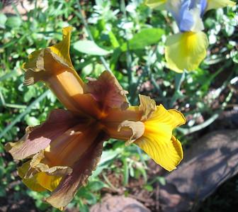 07_10_06 Caramel Iris