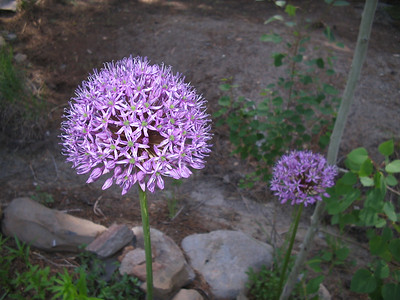 06_10_06 Allium