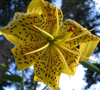 Yellow Tiger Lily 08_04_2006