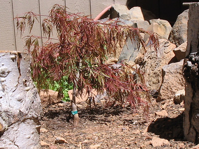 06_16_06 Japanese Maple