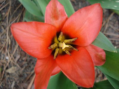 04_25_2007 Tulip