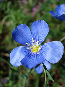 Flax (a native) 07-05-2010