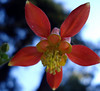 Native Columbine - Seeds picked from Donner Summit, Truckee, CA in fall of 2008 - Image taken on 06-22-2010