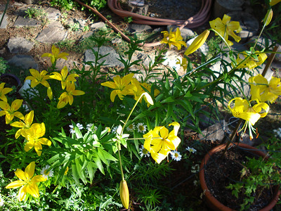 Lily bed 08/30/2011