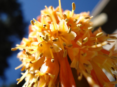 """Red Hot Poker"" Kniphofia uvaria 08/30/2011"