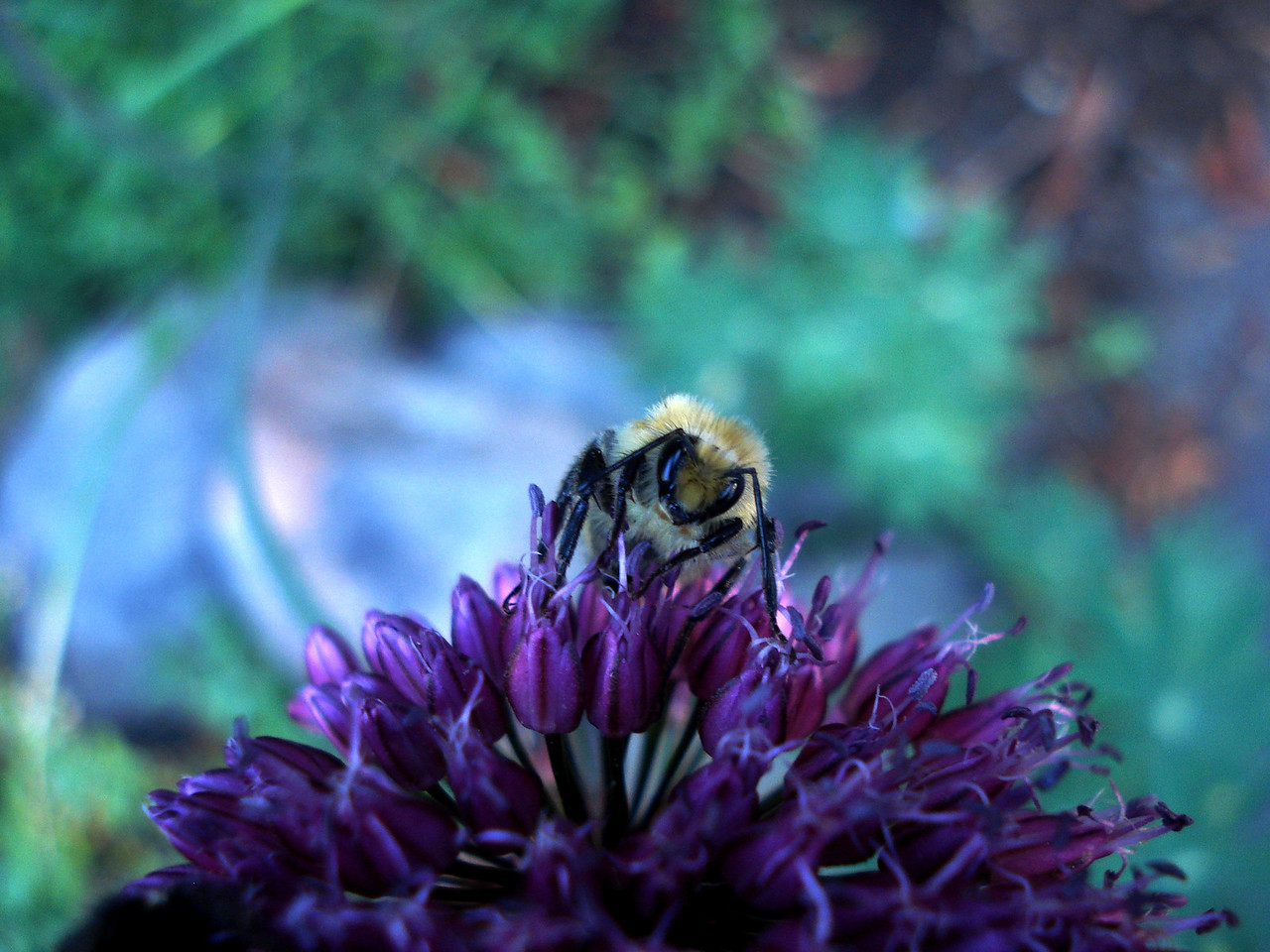Bee on Allium