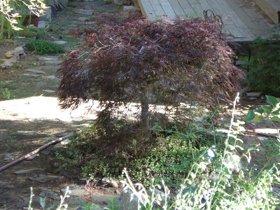 Birthday Japanese Maple 06-19-2014