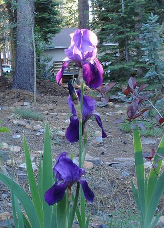 Bud's Iris 06-27-2014