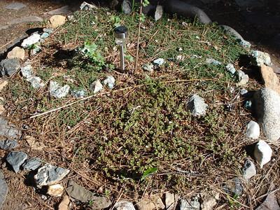 Garden 05-10-2012 Yin Yang with sedum