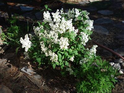 Birthday Lilac 06/01/2012