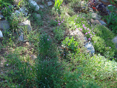 Chives in front garden 06/01/2012