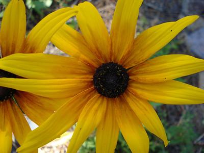 Garden 08-05-2012 Coneflower