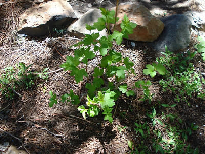 Garden 06/07/2012 Viburnum