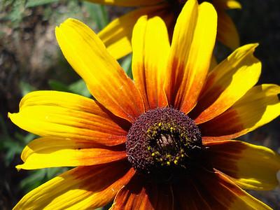 Garden 08-05-2012 Rudbeckia