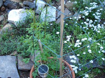 Garden 06/07/2012 Birthday Clematis
