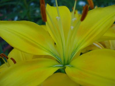 Garden 08-05-2012 Lily