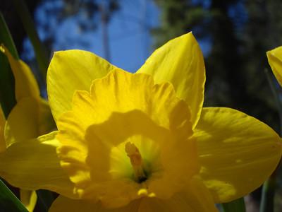 Daffodil 05/09/2012