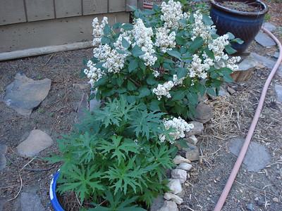 Garden 06/19/2012 Lilac and Delphinium
