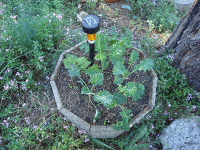Garden 06/19/2012 Amy's Kale