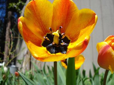 Tulip 05/09/2012