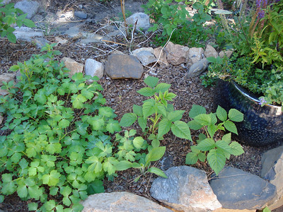 Garden 06/07/2012 Columbine, Blackberry, Birthday Plant Pot