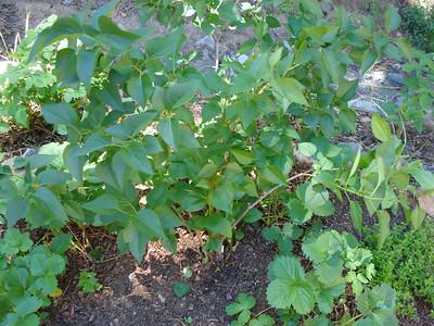 Garden 06/07/2012 Lilac Side Garden