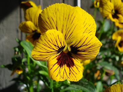 Garden 06/14/2012 Viola