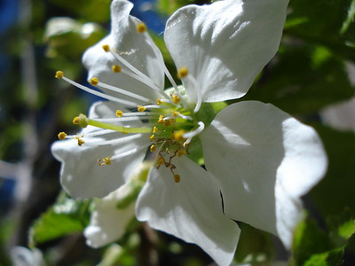 First Cherry Blossom, Ever! 05/09/2012