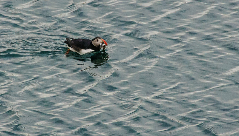 puffin with fish, yummy!