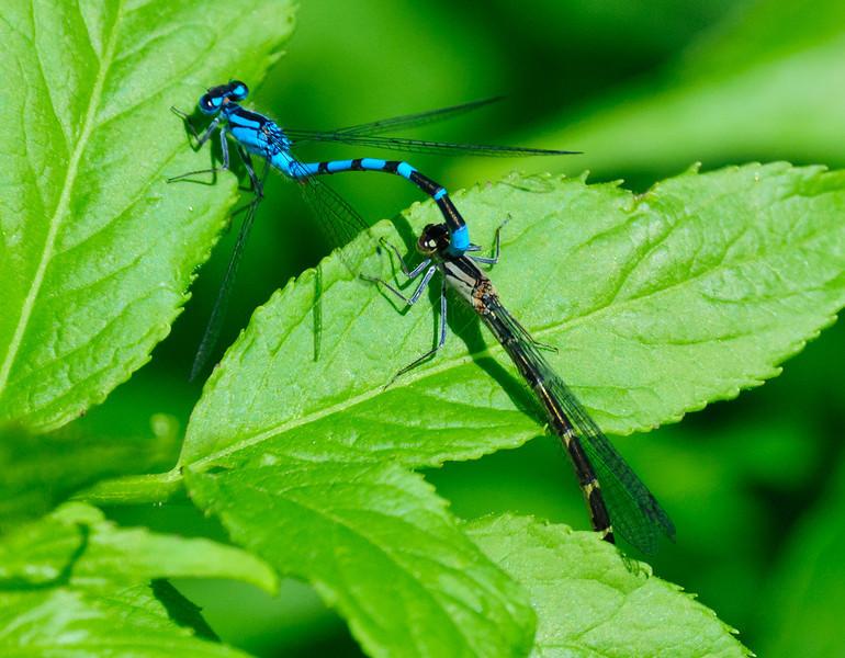 Crystal Lake Dragonflies