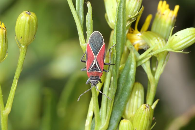 Whitecrossed Seed Bug (Neacoryphus bicrucis)