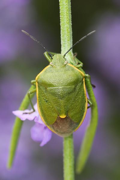Breen Stink Bug (Pentatomidae)
