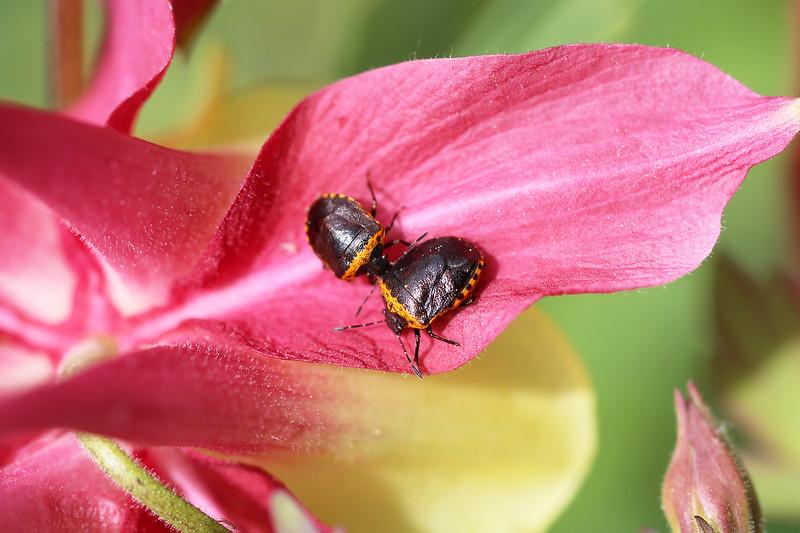 Stink Bug (Cosmopepla)