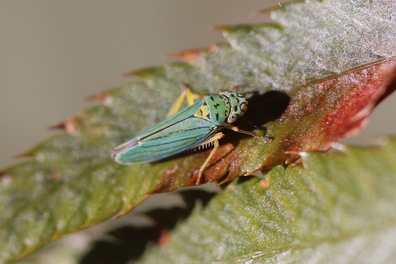 Sharp Shooter (Cicadellidae)